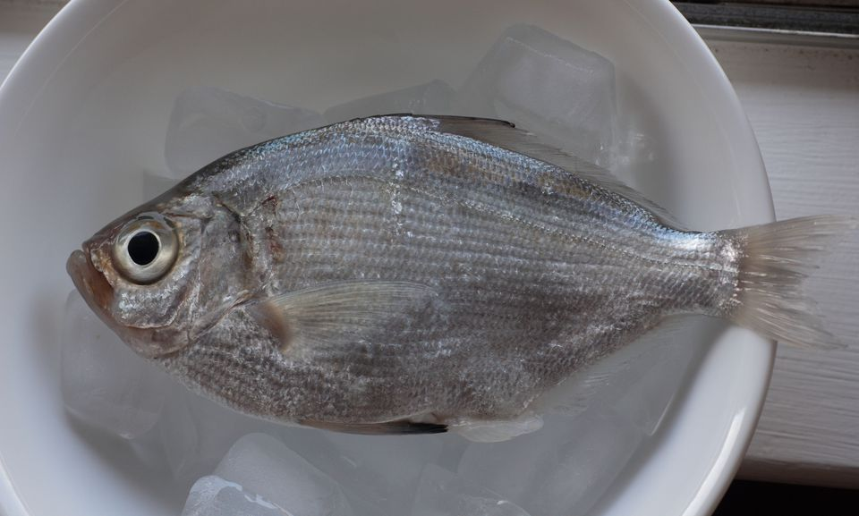 Freshly caught surfperch on ice
