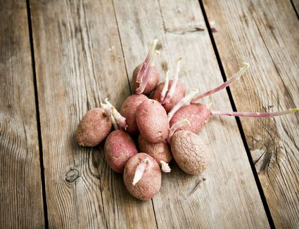 Sprouted potatoes on wooden table