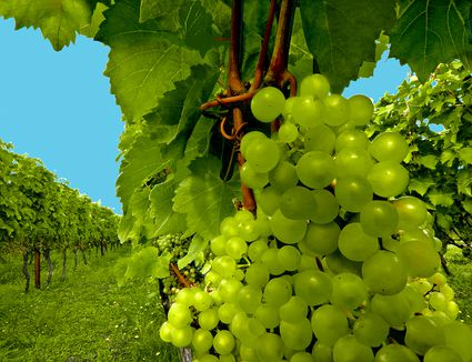 Madeleine Angevine Grapes