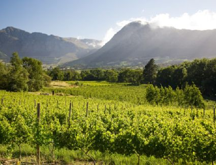 Vineyards in South Africa