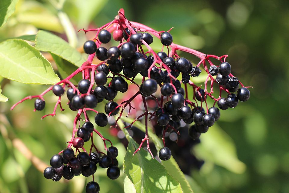 A thriving elderberry bush