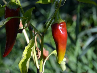 Health Benefits of Eating Hot Chili and Cayenne Peppers