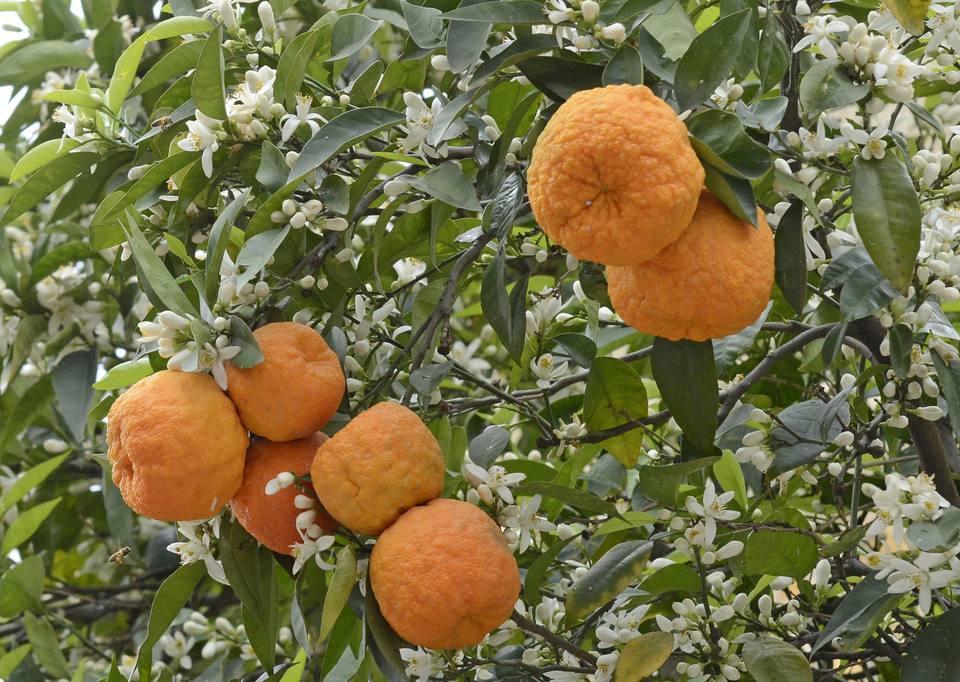 Marinada de naranja amarga (Marinado de Naranja Agria)