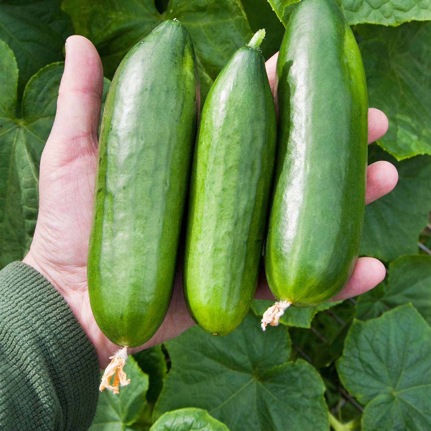 A Brief Guide to Types of Cucumbers