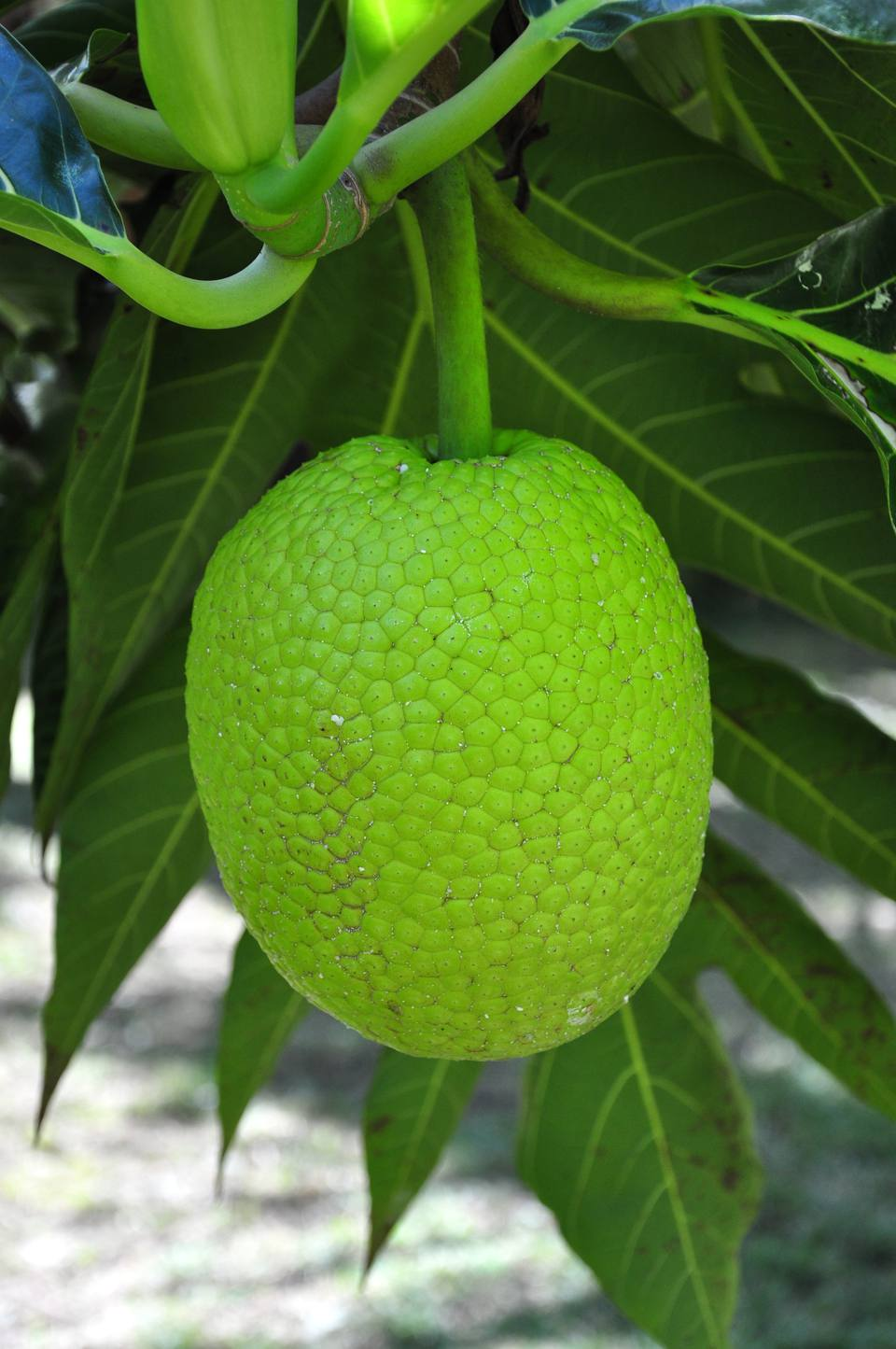 A New Breadfruit Punch for a Healthy Juice or Smoothie