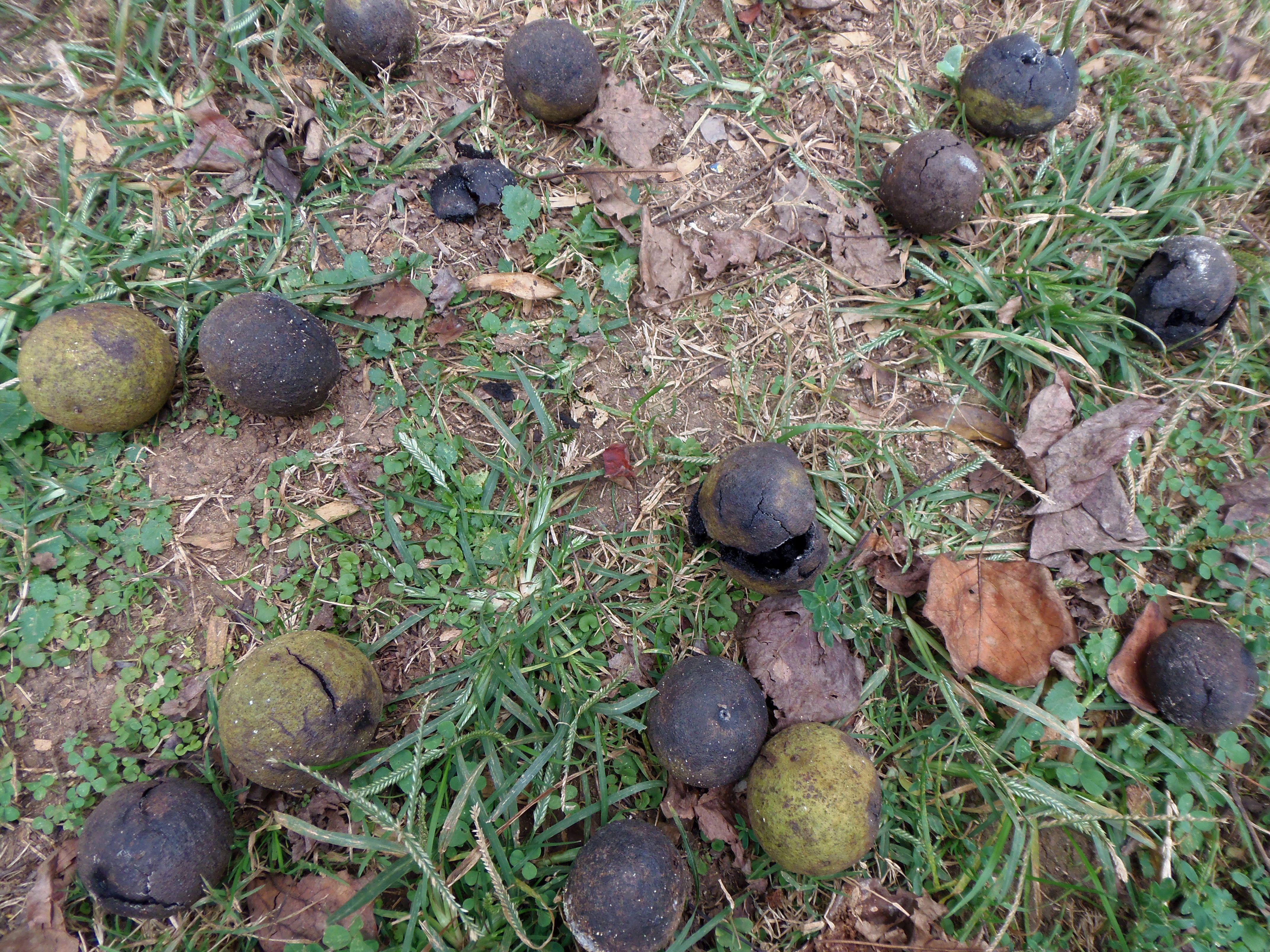 black walnuts on ground