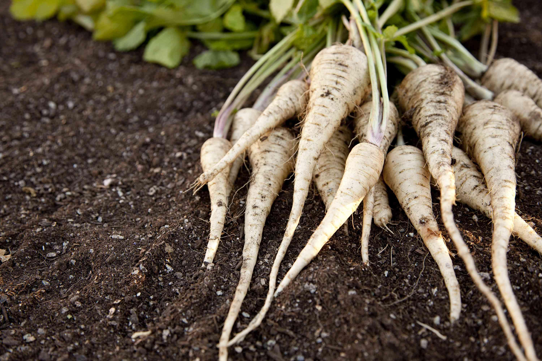 Fresh Homegrown Parsnips on Garden Soil