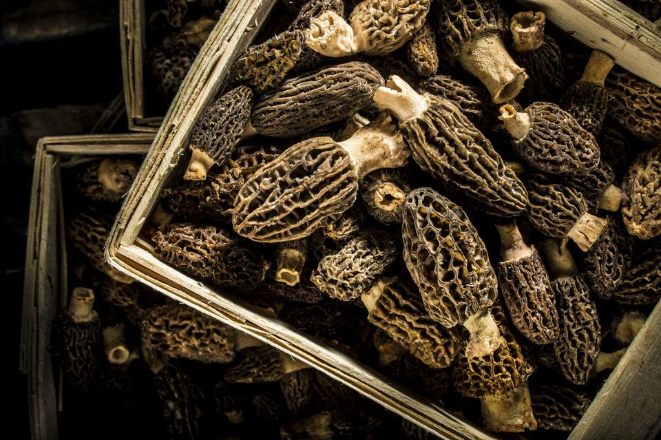 Basket of Wild Morels