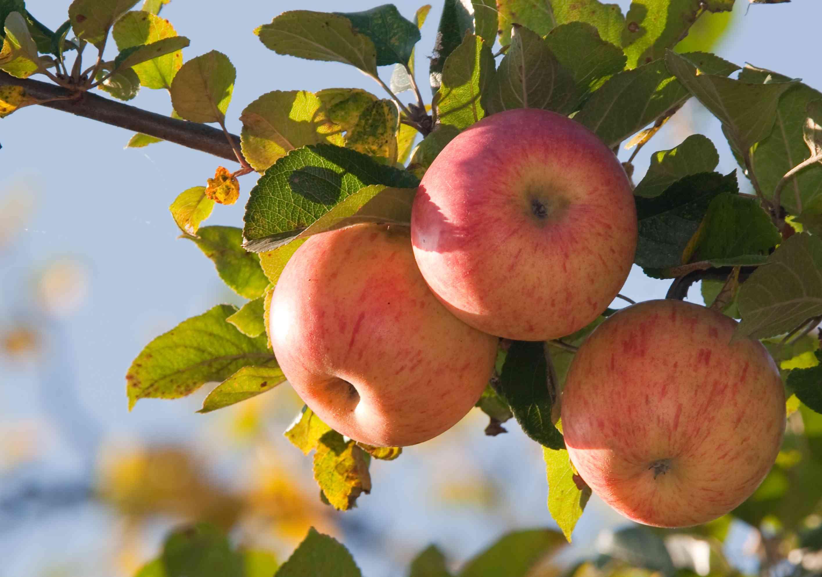 Hawaiian Apples
