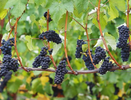 Pinot Noir clusters