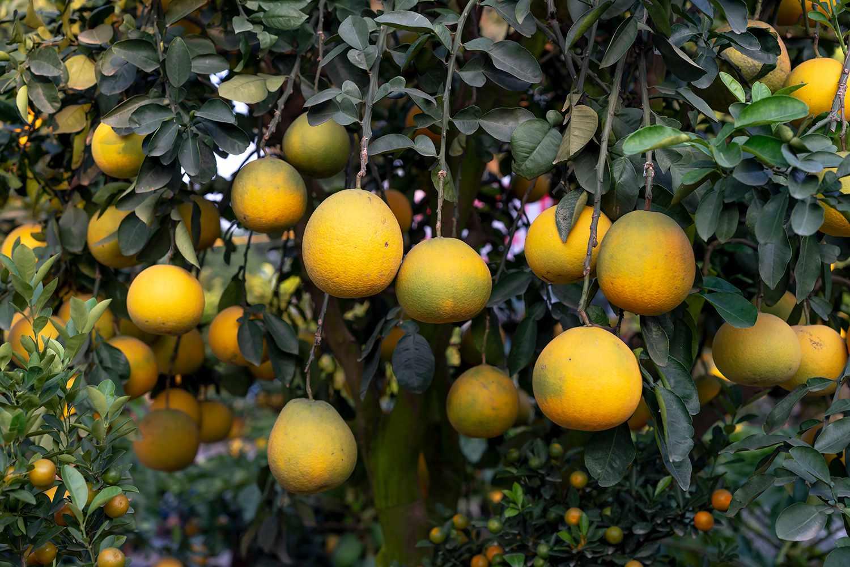 Bonsai pomelos trees