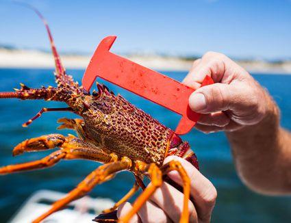 Measuring a spiny lobster