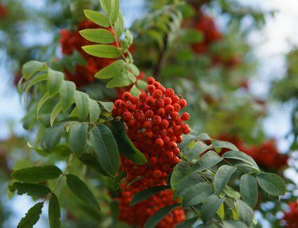 Rowan berries in nature