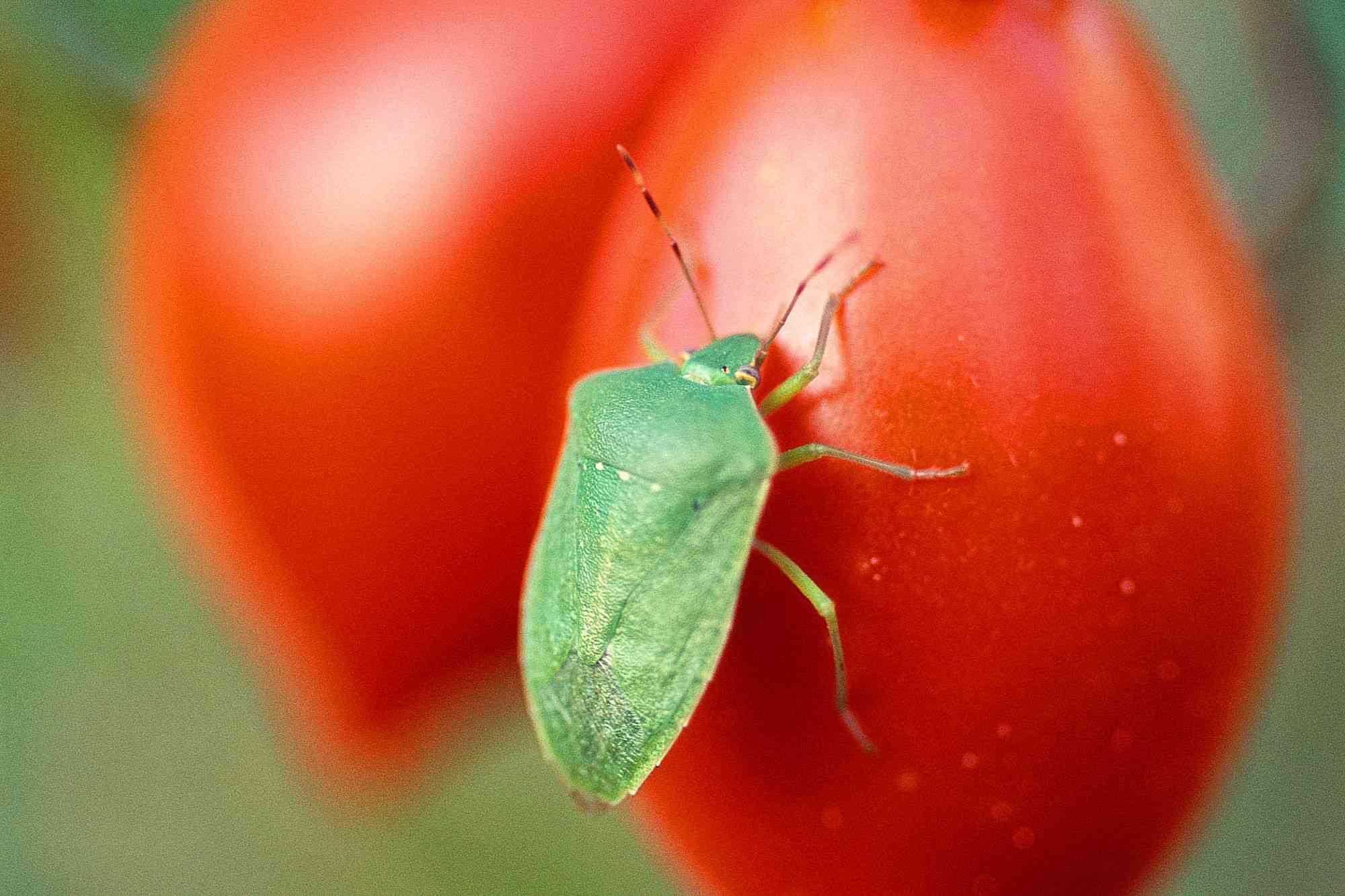 Jumil (stink bug) on tomato