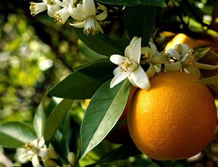 An orange and orange blossoms on a tree