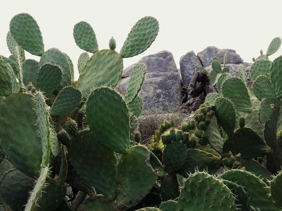 Prickly Pear Cactus Growing Against Sky