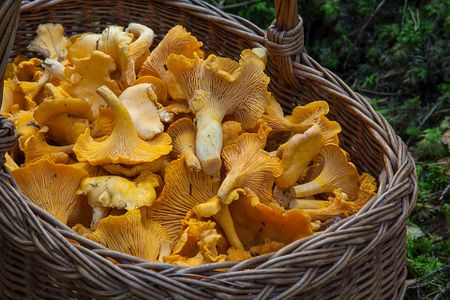 pickled chanterelles mushroom recipe