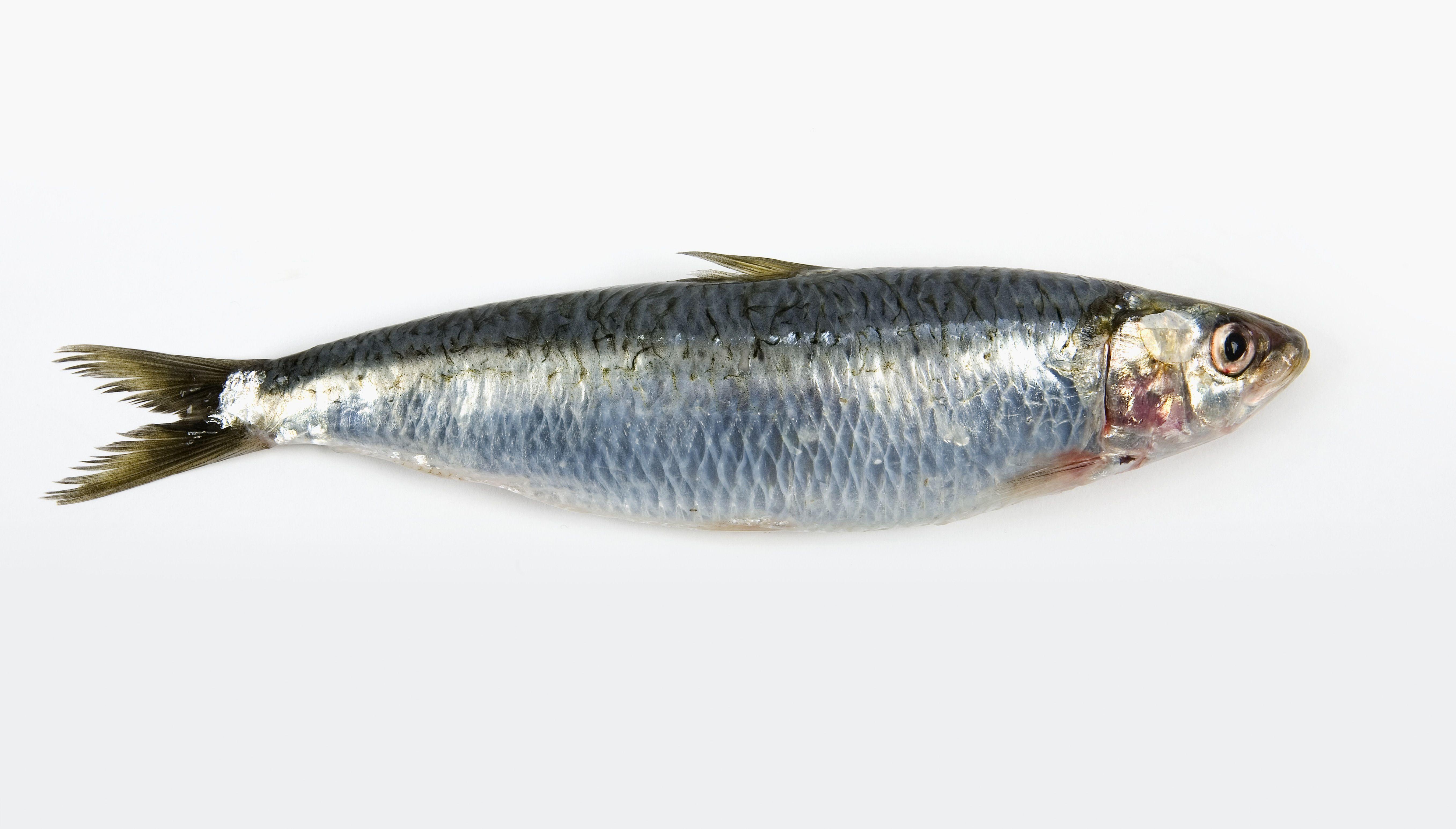 A single fresh whole sardine