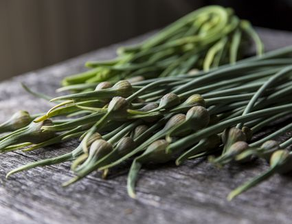 Garlic scapes freshly picked