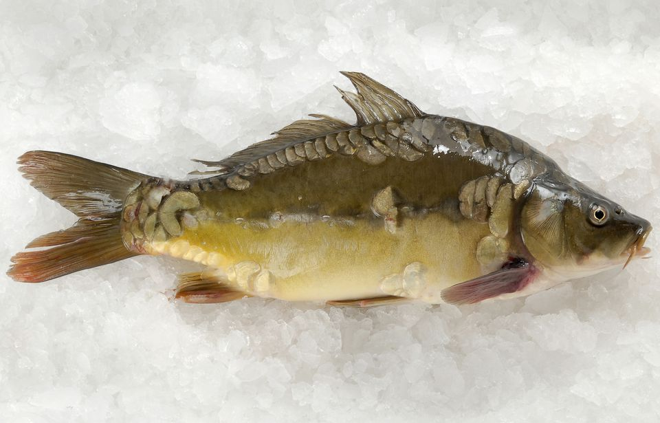 Fresh carp