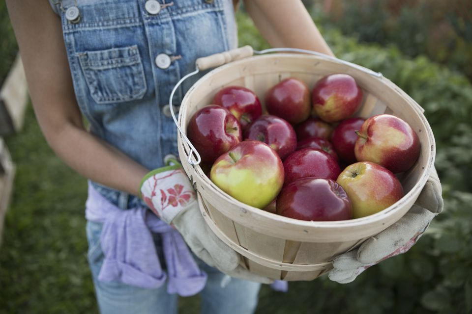 Close up woman holding fresh harvested apples bushel