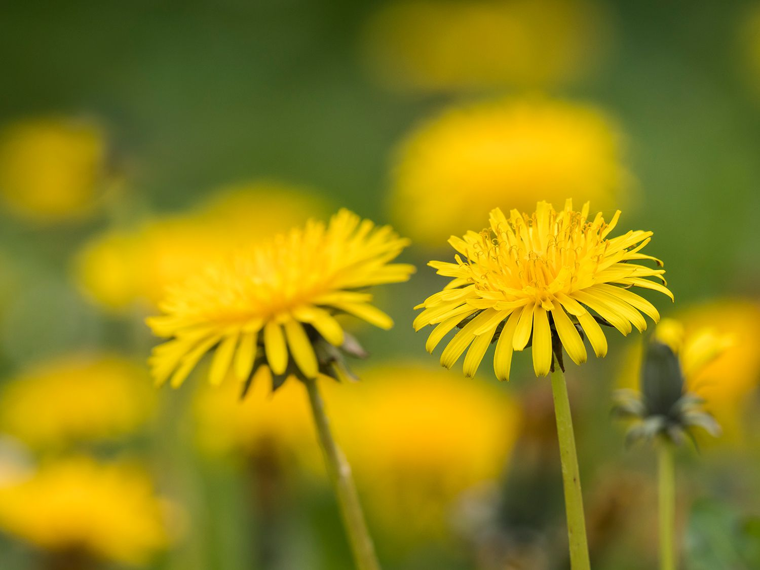 Some dandelion (Taraxacum officinale) flowers in the foreground on a background of more flowers in a meadow
