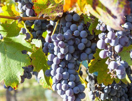 Malbec wine grapes