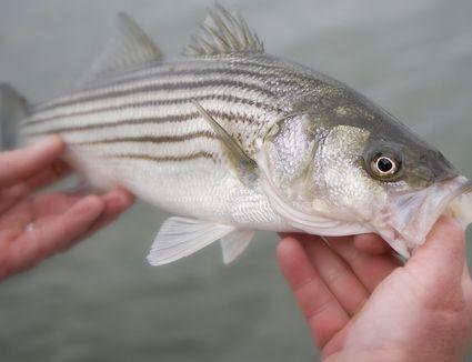 Hands holding a live striped bass