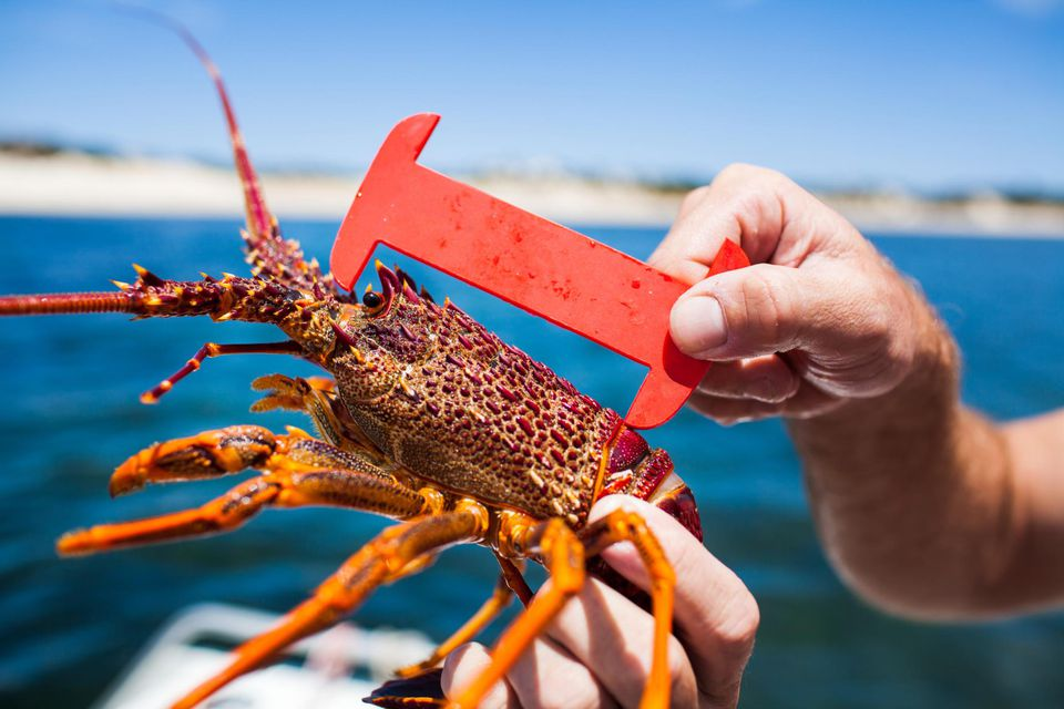 Measuring an under-sized Rock Lobster, Crayfish