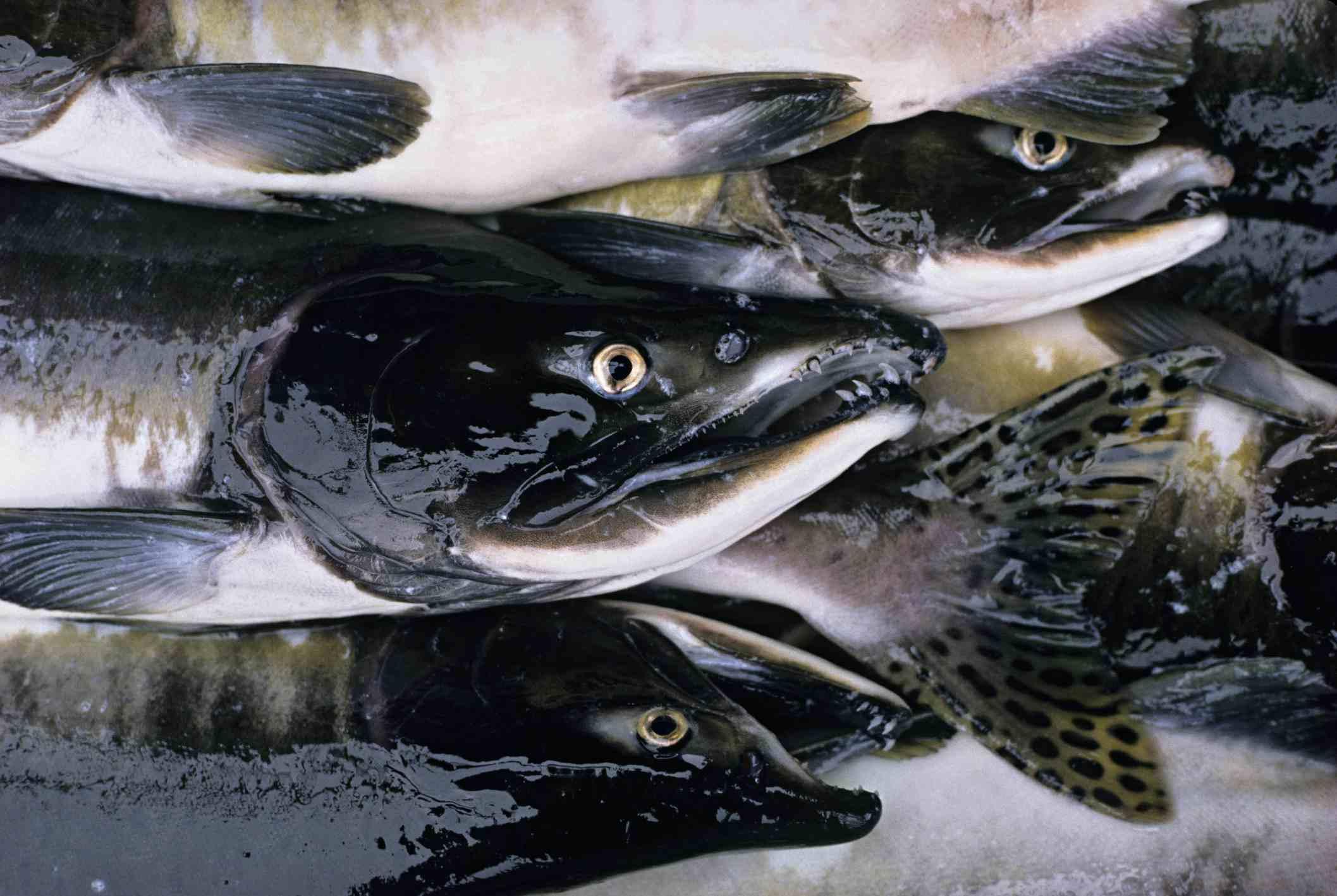 Pink or humpback salmon