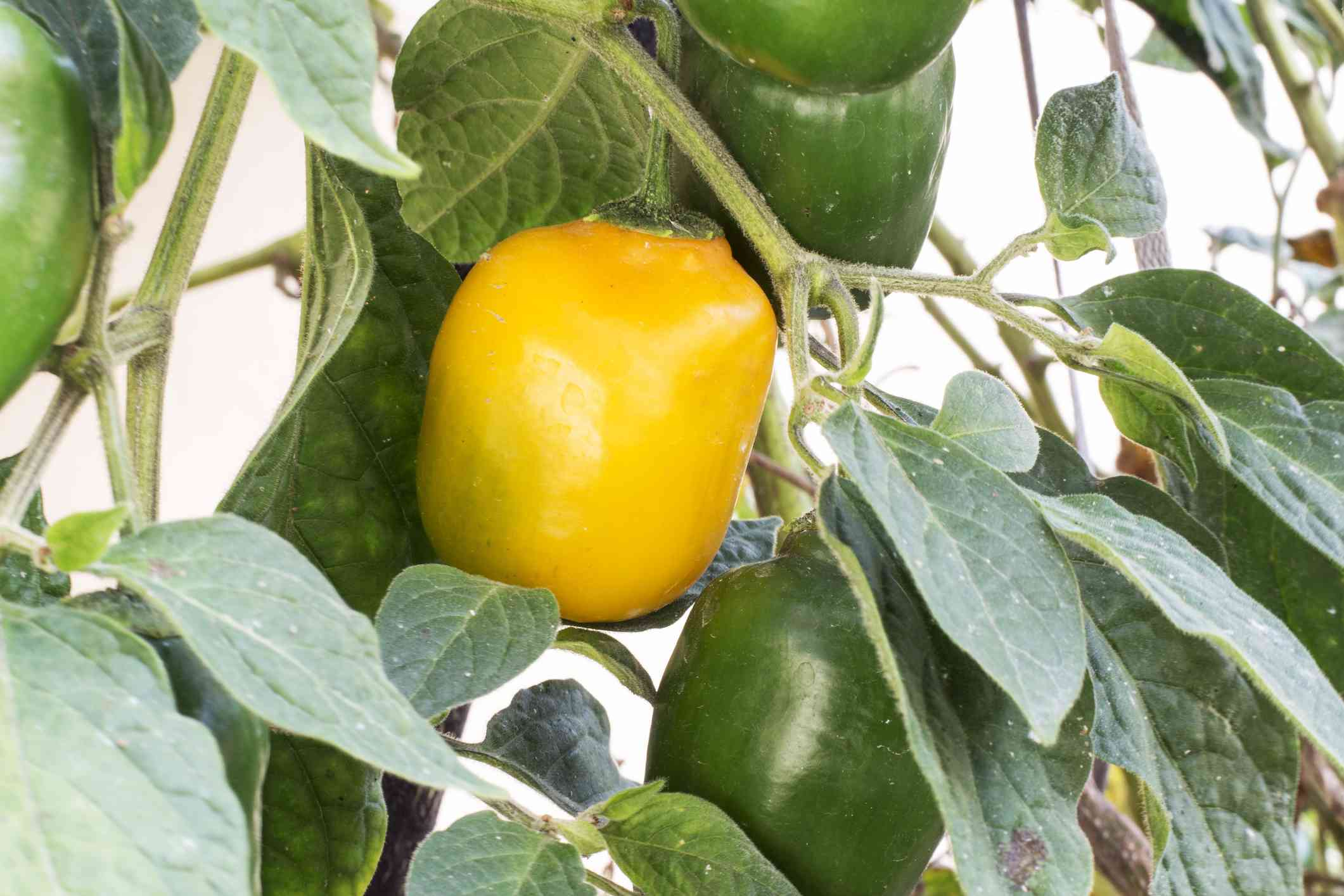 Rocoto pepper
